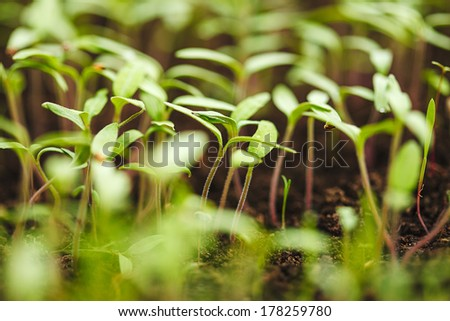 Tomato seedling in greenhouse. Selective focus. - stock photo