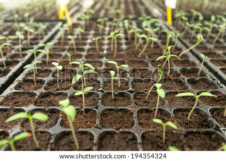 Tomato seedling in plastic tray.  - stock photo