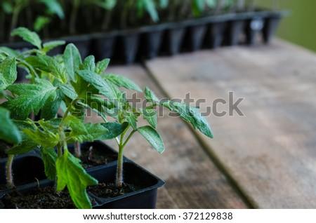 Tomato seedling in plastic tray - stock photo