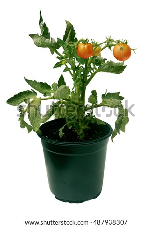 Tomato Seedling Potted Plant with flowers and red fruits  isolated on White Background