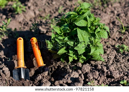 Tomato Seedlings and Garden Tools in the Beds. Planting Seedlings of Tomatoes - stock photo