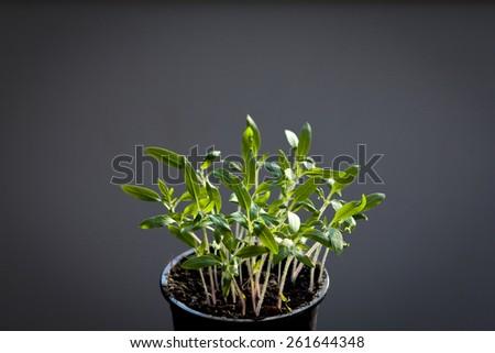 Tomato seedlings grown indoor - stock photo