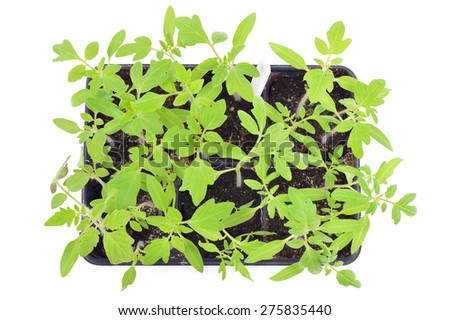 Tomato seedlings in a pot isolated on white background. Young plants in plastic cells, organic gardening. Top view. - stock photo