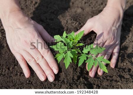 Tomato seedlings in peat pots prepared for planting - stock photo