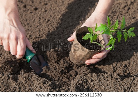Tomato seedlings in peat pots prepared for planting - stock photo