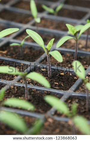 Tomato seedlings in pot
