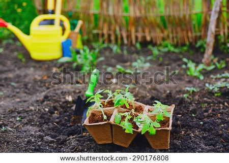 Tomato seedlings in small peat pots ready for replanting - stock photo