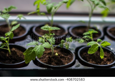 tomato sprouts in pots at home
