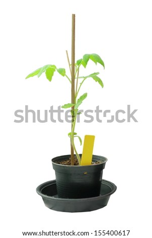 Tomato young plant isolate on white background.