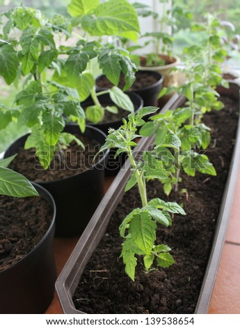 Tomatoe growing in the balcony