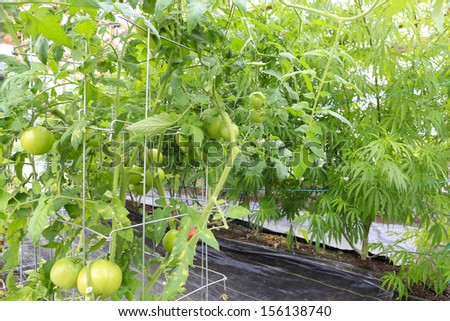 Tomatoes and Marijuana ( cannabis), hemp plant growing inside of green house in the garden of Washington State. Legal Medical marijuana law in US. Grower uses leaves for juicing for health support.