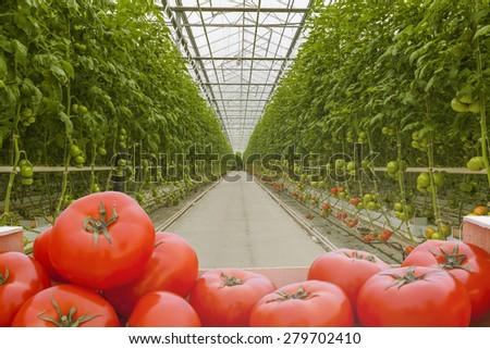 tomatoes harvest - stock photo