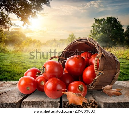 Tomatoes in a basket on table and landscape - stock photo