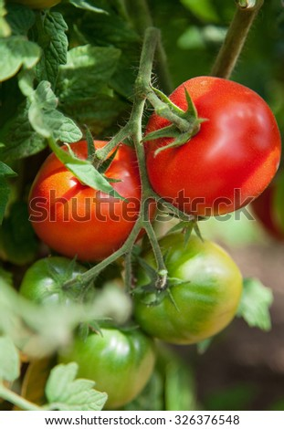 Tomatoes in the greenhouse, natural background