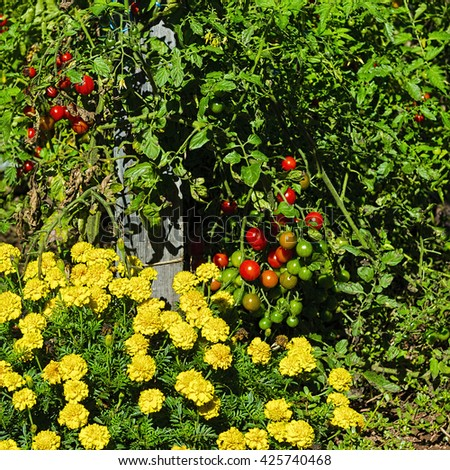 Tomatoes in Vegetable Garden on a Personal Plot in the French Village - stock photo