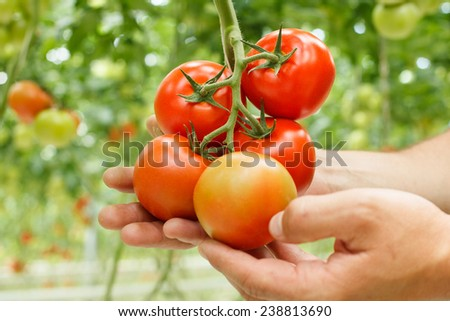 tomatoes on a branch in the hands - stock photo