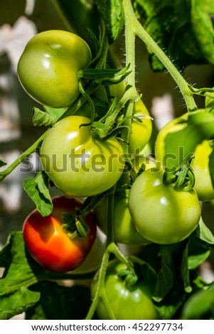 Tomatoes on a plant in a green house