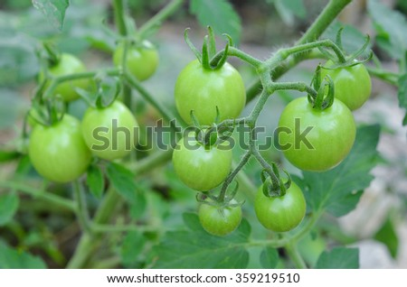 Tomatoes on the green
