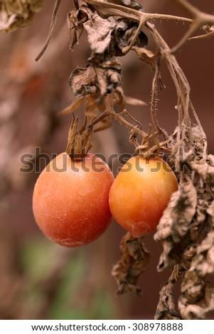 Tomatoes on withered plant. - stock photo