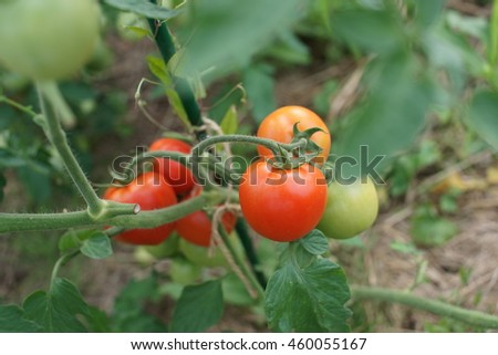 Tomatoes ripen in the greenhouse