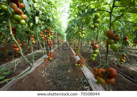 Tomatoes ripening in a greenhouse, sicily, italy - stock photo