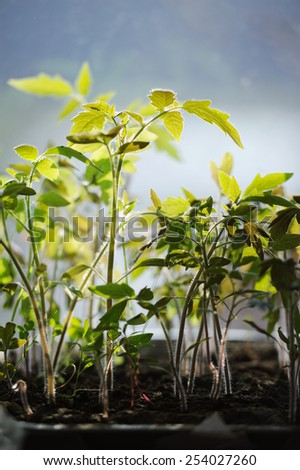 Tomatoes seedlings growing in a container on the window - stock photo