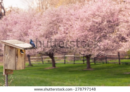 Toned image of tree swallows and nest box with cherry blossoms in the background - stock photo