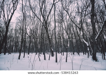 Toned winter forest trees covered with snow on white cloudy background, outdoor nature photography. Scary wild woods at twilight. Misty winter woods nature landscape. Black woods cold outdoor nature