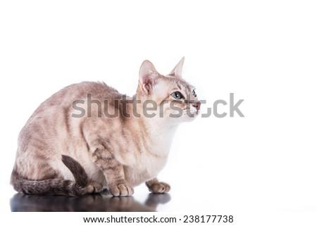 Tonkinese  cat, portrait beautiful cat on a white background - stock photo