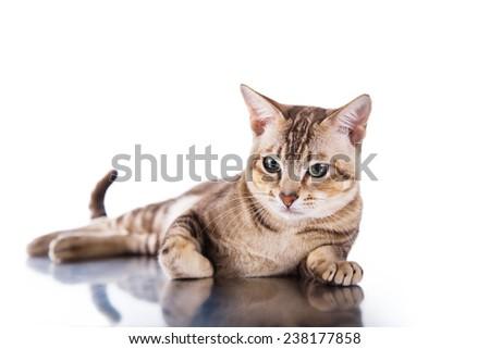 Tonkinese  cat portrait beautiful cat on a white background - stock photo