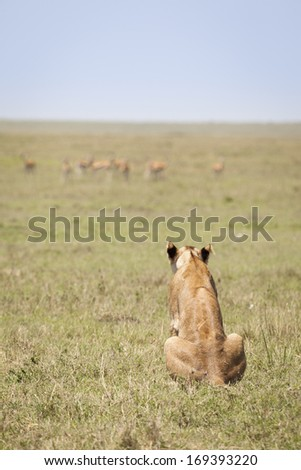 Too far away, lioness in the open savanna, shallow depth of field, Masai Mara, Kenya, Southeast Africa - stock photo