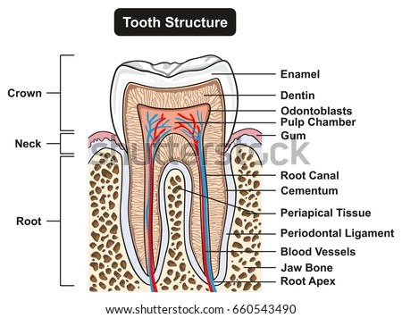 dental pulp diagram dentin stock images, royalty-free images & vectors ...