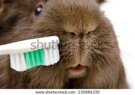 toothbrush with guinea pig - stock photo