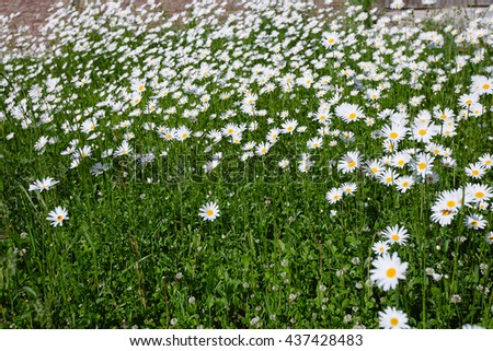 top down beautiful field of green grass and camomiles as background in the nature, panorama