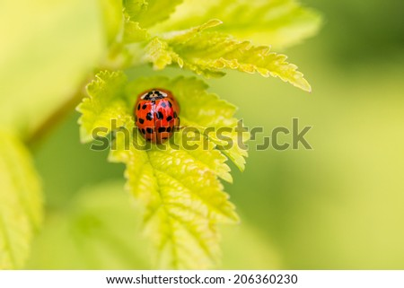 Top down view on Ladybugs on green leaf - stock photo