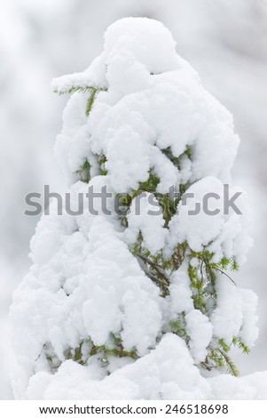 Top of a coniferous tree covered with snow in white enviroment during a cold winter - stock photo