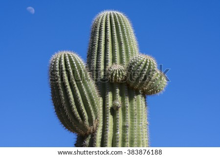 Top of beautiful green spiny Carnegiea gigantea saguaro cactus under clear blue sky and moon in background - stock photo