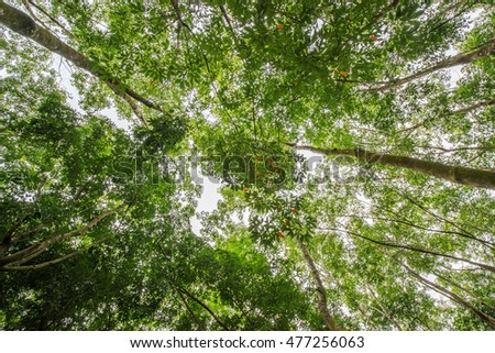 Top of rubber tree and rubber leaf and rubber plantation tree background at Tay Ninh, Vietnam.