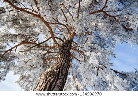Top of winter trees with blue sky - stock photo