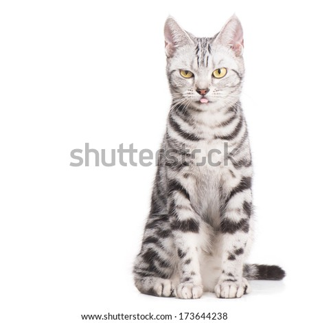 Top view  American Shor thair Cat on white background - stock photo