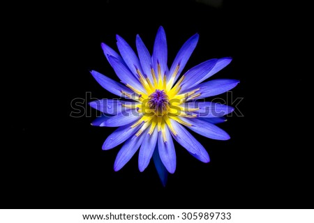 top view blue lotus flower,water lily on black background