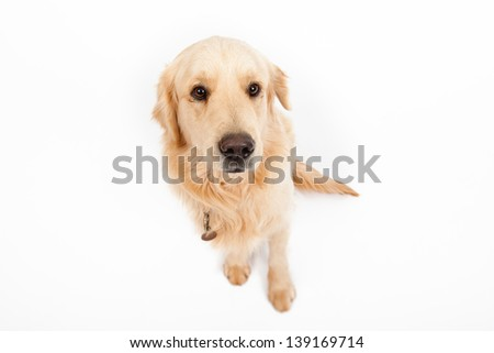 top view image of beautiful young golden retriever sitting isolated on white