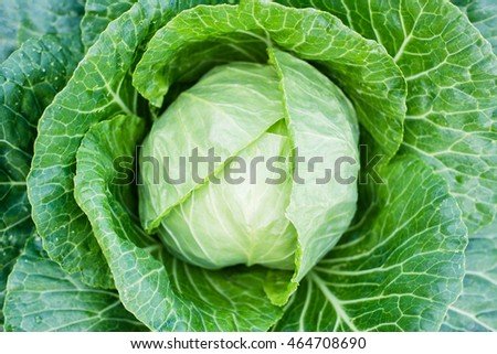 top view of a head of green cabbage plugs