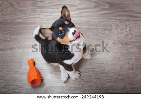 top view of adorable basenji puppy - stock photo