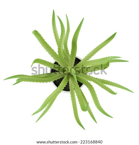 top view of aloe plant in pot isolated on white background - stock photo