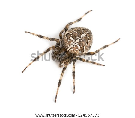 Top view of an European garden spider against white background