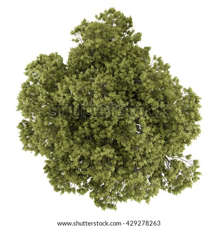 top view of austrian oak tree isolated on white background. 3d illustration