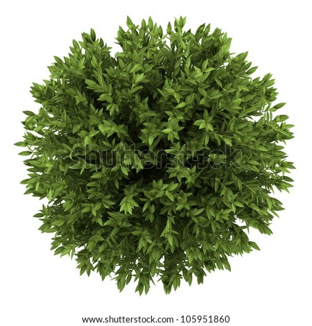 top view of bay laurel bush isolated on white background - stock photo