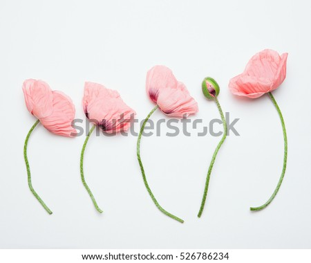 Top view of beautiful pink poppy flowers on a white