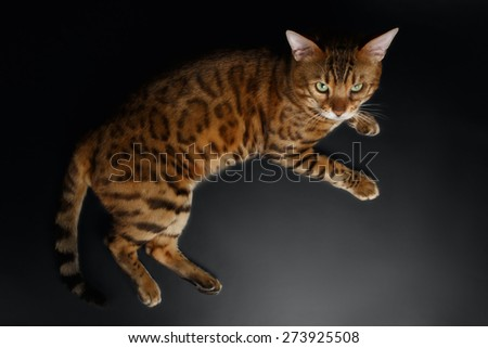Top View of Bengal Cat on Black Background - stock photo